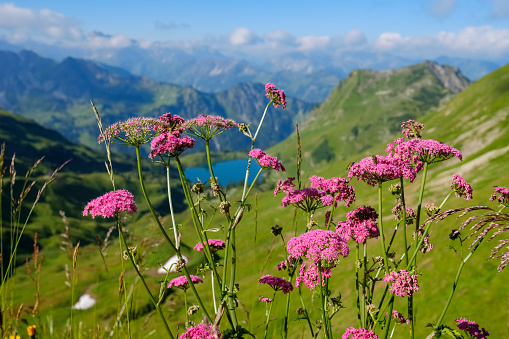 European Alps「Germany, Bavaria, Allgaeu Alps, View from Zeigersattel to Seealpsee with Hoefats, Valerian, Valeriana officinalis in the foreground」:スマホ壁紙(13)