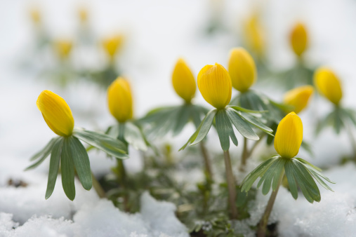 花「Germany, Bavaria, Winter aconite in snow」:スマホ壁紙(9)