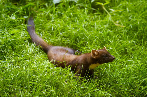 Animals Hunting「Germany, Bavaria, Bavarian Forest National Park, pine marten on a meadow」:スマホ壁紙(10)