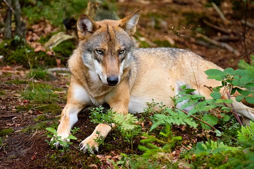 Animals In The Wild「Germany, Bavaria, Bavarian Forest National Park, lying wolf」:スマホ壁紙(10)