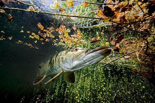 Northern Pike「Germany, Bavaria, northern pike in Echinger Weiher」:スマホ壁紙(5)