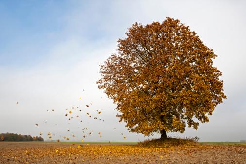 Maple「Germany, Bavaria, Maple tree in autumn」:スマホ壁紙(8)