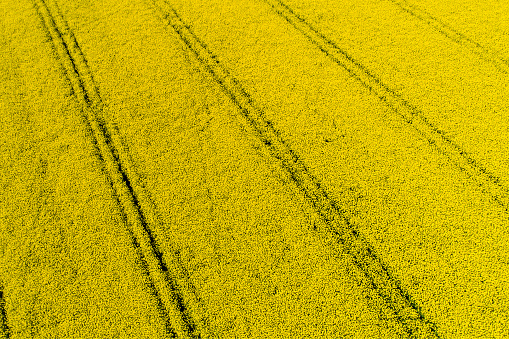 アブラナ「Germany, Bavaria, Tire tracks in a rape field」:スマホ壁紙(6)