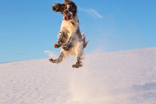 Making A Face「Germany, Bavaria, English Springer Spaniel playing in snow」:スマホ壁紙(19)