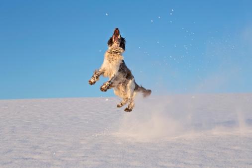 Springer Spaniel「Germany, Bavaria, English Springer Spaniel playing in snow」:スマホ壁紙(17)