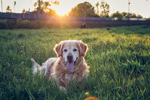 Making A Face「Germany, Bavaria, Munich, Portrait of Golden Retriever lying in meadow at sunset」:スマホ壁紙(2)