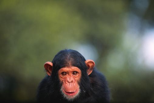 Animal Head「Chimpanzee (Pan troglodytes), close up」:スマホ壁紙(18)