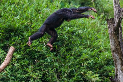 Branch「Chimpanzee youngster」:スマホ壁紙(15)