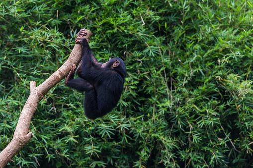 Branch「Chimpanzee youngster」:スマホ壁紙(13)