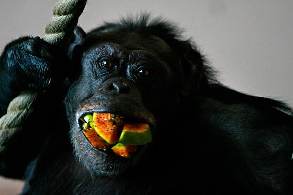 Primate「Edinburgh Zoo Boasts A Brand News ?5.65m Chimpanzee Enclosure」:写真・画像(7)[壁紙.com]