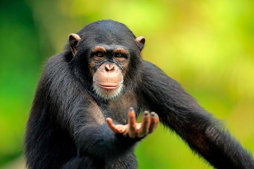 Endangered Species「Chimpanzee, (Pan troglodytes troglodytes)」:スマホ壁紙(19)