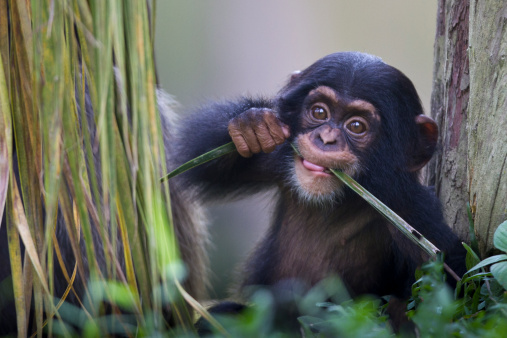Baby animal「Chimpanzee baby」:スマホ壁紙(5)