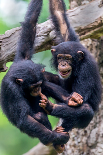 Branch「Chimpanzee youngsters playing」:スマホ壁紙(9)