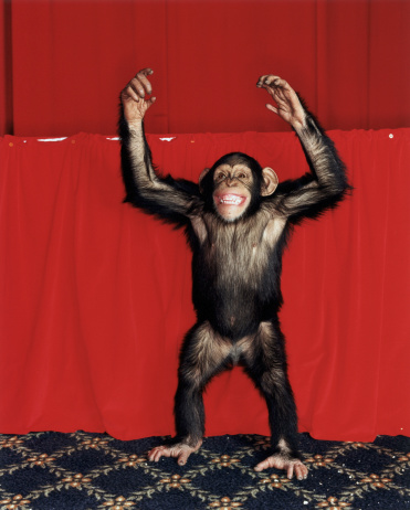 Arms Raised「Chimpanzee (Pan troglodytes) with arms raised, indoors」:スマホ壁紙(3)