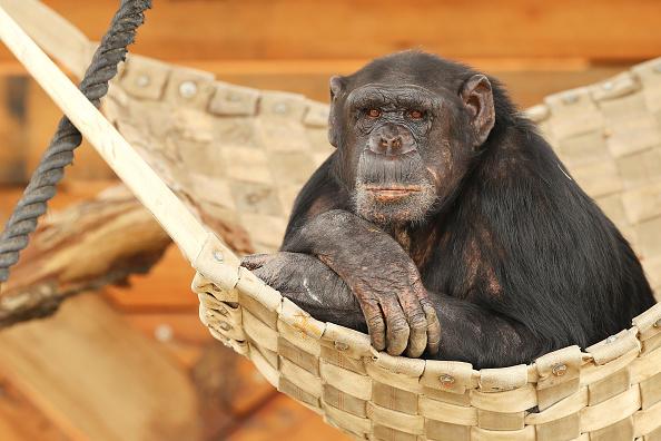 Monkey「Sydney Zoo Officially Opens In Western Sydney」:写真・画像(17)[壁紙.com]