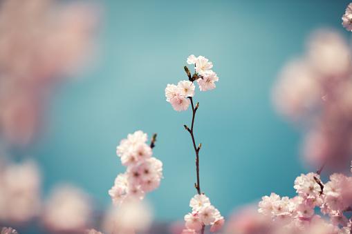 桜「パステル色の桜の花」:スマホ壁紙(7)