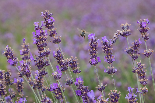 French Lavender「Bee flying among lavender flowers」:スマホ壁紙(0)
