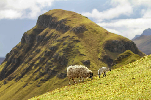 Pasture「UK, Scotland, Isle of Skye, Quiraing, sheep on meadow」:スマホ壁紙(17)