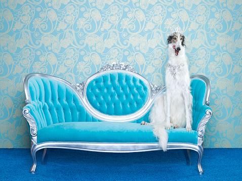 Chaise Longue「Borzoi (Canis lupus familiaris) on couch」:スマホ壁紙(17)
