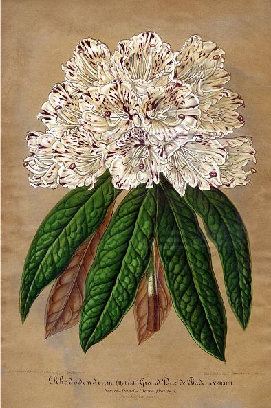 Variation「Rhododendrum Grand-Duc De Bade」:写真・画像(13)[壁紙.com]