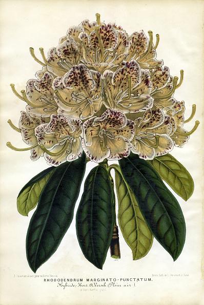 Bouquet「Rhododendron」:写真・画像(14)[壁紙.com]