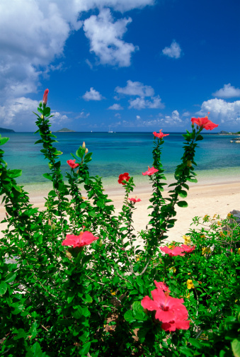 flower「Hibiscus in Mahoe Bay, Virgin Islands」:スマホ壁紙(11)
