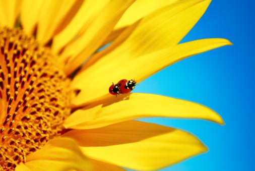 ひまわり「ladybugs」:スマホ壁紙(2)
