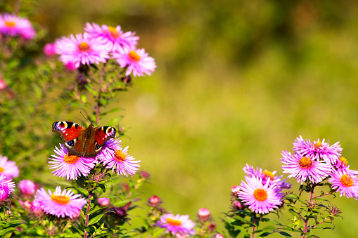 Aster「Peacock butterfly sitting on blossom of pink aster」:スマホ壁紙(18)