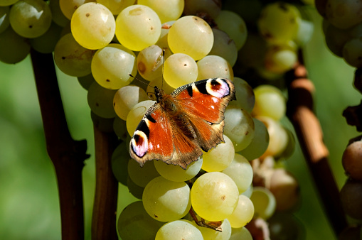 昆虫「Peacock butterfly on white grape, southern Styria, Austria」:スマホ壁紙(2)