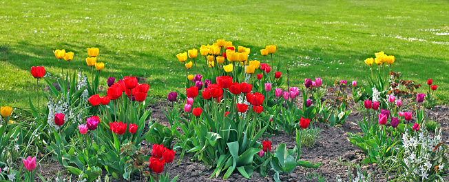 チューリップ「新しい春の色鮮やかなチューリップの芝生に 1 回)」:スマホ壁紙(12)