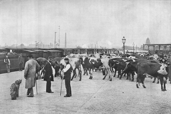 Livestock「Detraining cattle, LNWR depot, York Road, London, c1903 (1903)」:写真・画像(6)[壁紙.com]