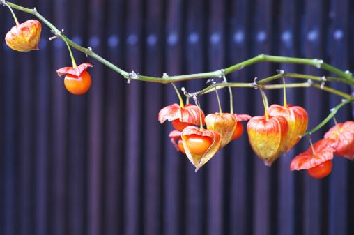 Chinese Lantern「Winter Cherries」:スマホ壁紙(10)