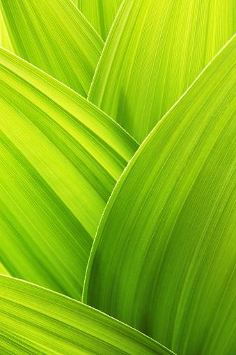 Hosta「Lime green plant leaf textured wallpaper background」:スマホ壁紙(12)