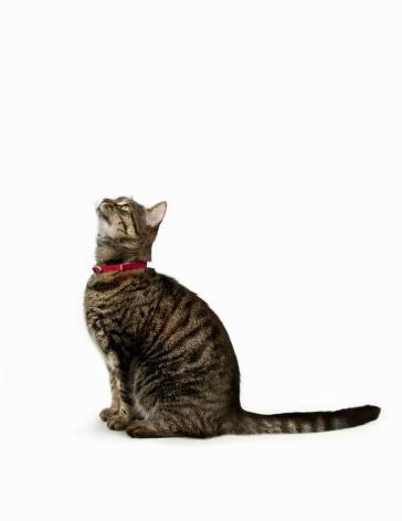 Sitting「Tabby cat looking up」:スマホ壁紙(12)