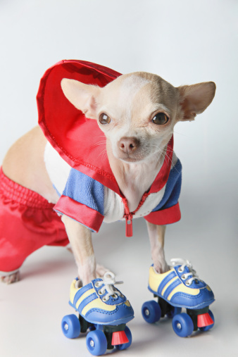 Roller skate「Small Dog Wearing Roller Skates」:スマホ壁紙(12)