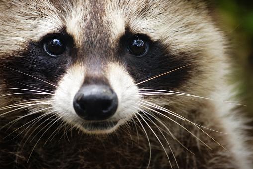 Raccoon「Raccoon looking at the camera」:スマホ壁紙(4)