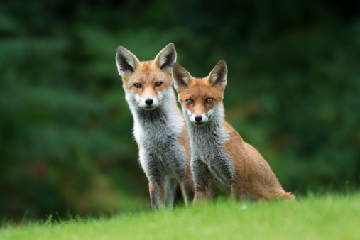 Animal Family「Red fox cub with parent」:スマホ壁紙(18)