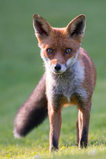 Red Fox「Red fox cub」:スマホ壁紙(14)