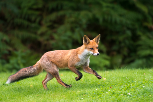 Focus On Foreground「Red fox cub running」:スマホ壁紙(12)