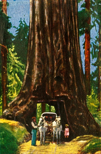 Sequoia Tree「Giant Redwood In California」:写真・画像(9)[壁紙.com]