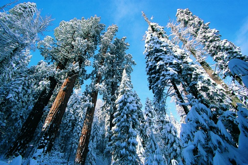National Park「Giant Redwoods in winter, Sequoia National Park, California, USA」:スマホ壁紙(17)
