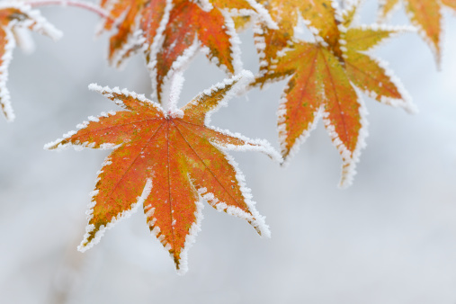 Japanese Maple「Frozen maple leaves」:スマホ壁紙(3)