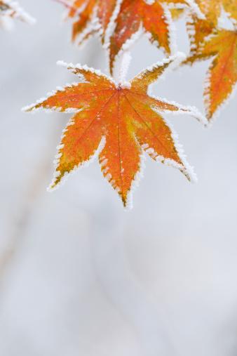Japanese Maple「Frozen maple leaves」:スマホ壁紙(14)