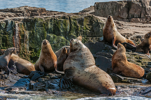 Sea Lion「The Steller sea lion (Eumetopias jubatus) also known as the northern sea lion and Steller's sea lion, is a threatened species of sea lion in the northern PacificThe largest of the eared seals (Otariidae). Prince William Sound, Alaska. A rocky haul-out are」:スマホ壁紙(6)