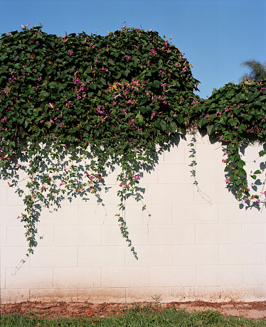 Morning Glory「Cinder Block Wall With Clinging Vines」:スマホ壁紙(11)