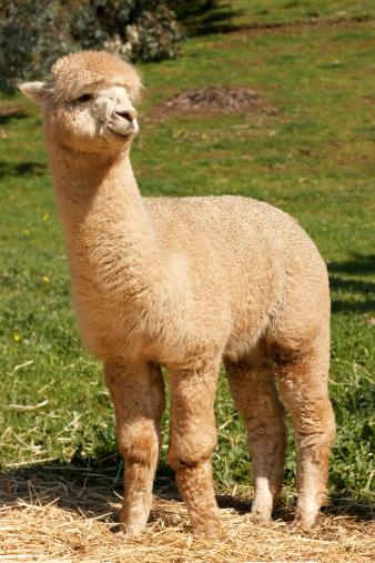 Alpaca「Huacaya Alpaca (Vicugna pacos)」:スマホ壁紙(9)