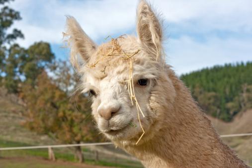 Animal Ear「Huacaya Alpaca (Vicugna pacos)」:スマホ壁紙(15)