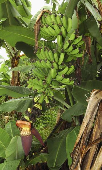 Farm「Banana Prices Reach Record Levels」:写真・画像(19)[壁紙.com]