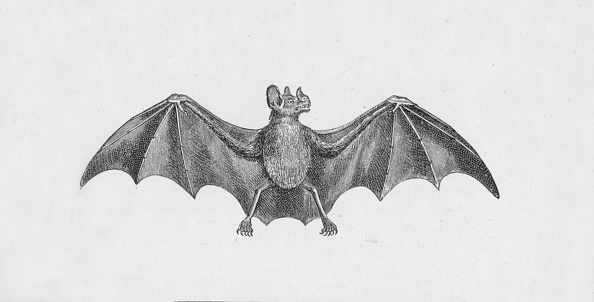 Engraving「'Vampire Bat',  c1885,」:写真・画像(6)[壁紙.com]