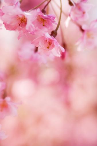 Cherry Blossoms「Close-up bokeh image of pink cherry blossom」:スマホ壁紙(14)